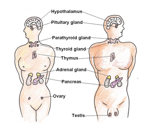 The endocrine glands of the body